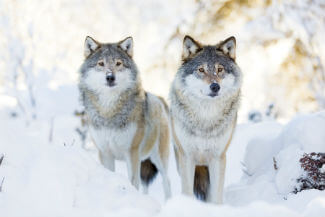 two wolves in Colorado Springs